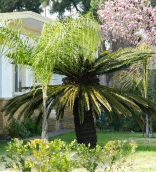 Huge female sago palm.