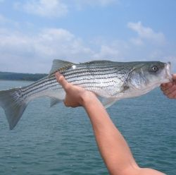 Striped Bass, July 2012