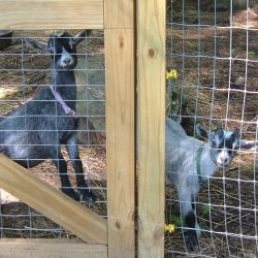 Our pet pygmy goats, Oliver & Delilha