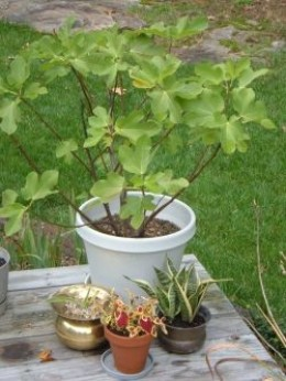 How to grow fig trees in containers dengarden for Olive trees in pots winter care