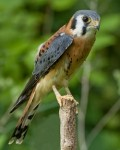 Kestrel Nest Box Plans: How To Build A Kestrel Nesting Box