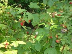 Our Raspberry Patch