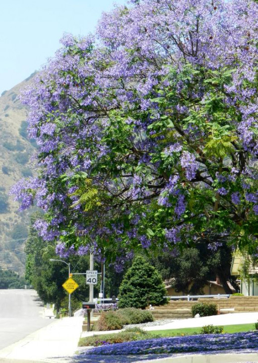 Jacaranda trees were introduced to California in the early 20th century to beautify cities in the LA basin.