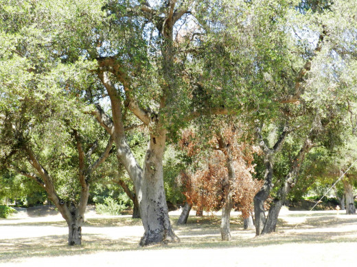 Last remaining lot with old growth oak trees.