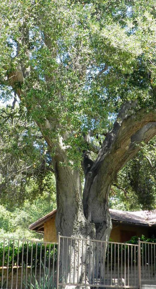 Property owners need to build around old growth oak trees.