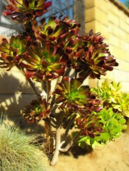 Mother Plant of aeonium  in Paperfacets images