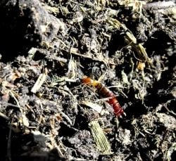 earwig in the compost