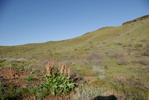 Peridot Mesa with few poppies. The plant in the foreground is Canaigre or Wild Rhubarb.