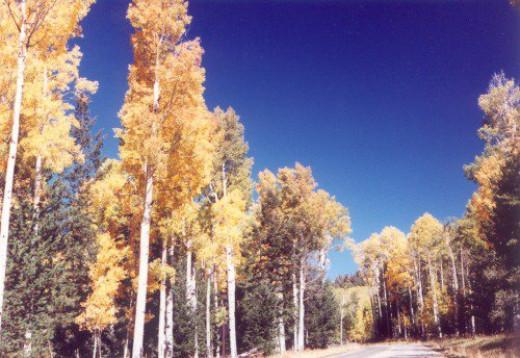 Autumn aspens along the road to the ski resort area.
