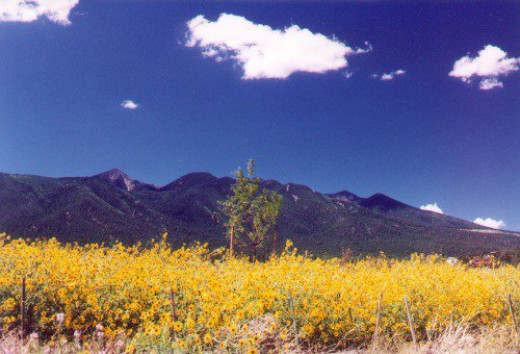 """San Francisco Peaks in August, when they get their """"spring"""" flowers. Those are sunflowers."""