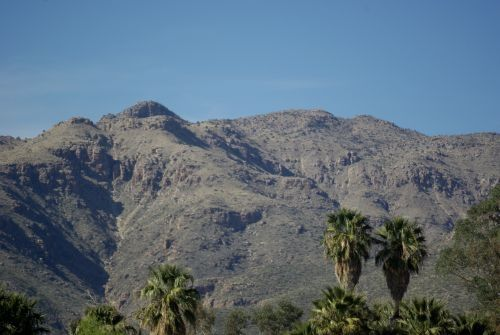View from Agua Caliente, a city park with wonderful birding, and a couple of lakes. They also have lots of beautiful palm trees. There is one palm tree which is native to the Sonoran Desert, but I don't know if this is the species.