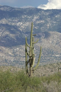 View toward the Catalinas with one saguaro.