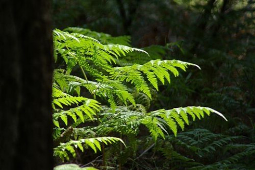 There are beautiful ferns in many places. This is on Incinerator Ridge, and the shadow on the left is a tree trunk.