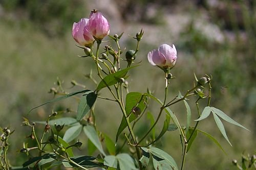 Wild cotton. The best time of year to find wildflowers on Mount Lemmon is in August.
