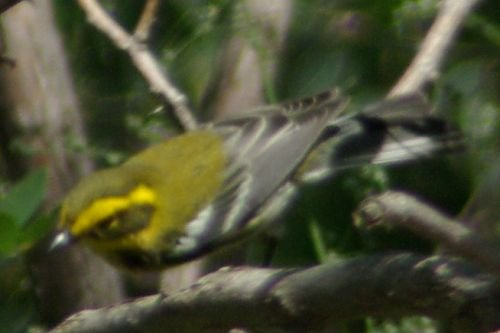 Townsend's Warbler on Incinerator Ridge.