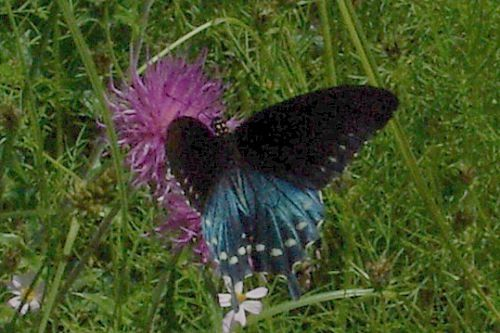 Pipevine Swallowtail on Thistle. These butterflies HATE to stand still, so it is difficult to get a good photo.