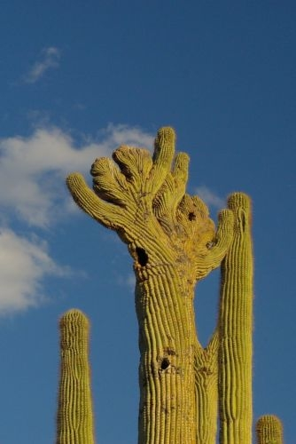 Saguaro with a crestate top (cristata). This is probably a genetic mutation. This is one of the best ones I have seen.