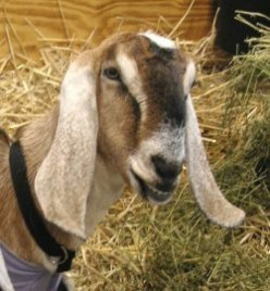 How to Manage a Goat Ranch