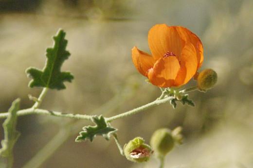 Desert Mallow. Sphaeralcea ambigua. Just a few hardy flowers left.