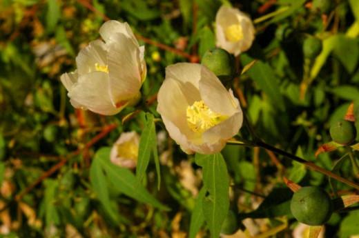 Desert Cotton. Gossypium thurberi. Still blooming, a little.