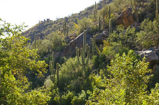 The thorns on the saguaros look like halos when you look toward the sun.