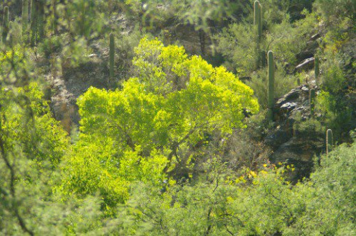 Refreshingly beautiful green tree. Lots in the canyon.