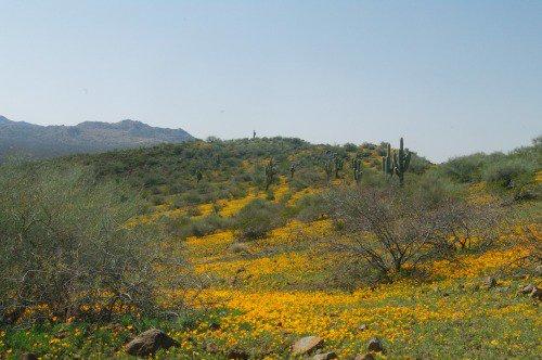 California Poppies at Peridot Mesa, Apache reservation near Globe.