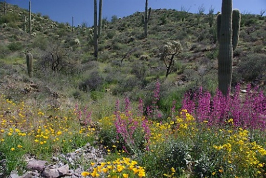 Poppies, Brittlebush, and Penstemons along US Route 60 between Phoenix and Globe.