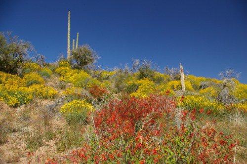 Chuparosa and Brittlebush near Bartlett Lake, NE of Phoenix.