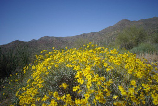 Brittlebush. In the Tucson Mountains, I think.