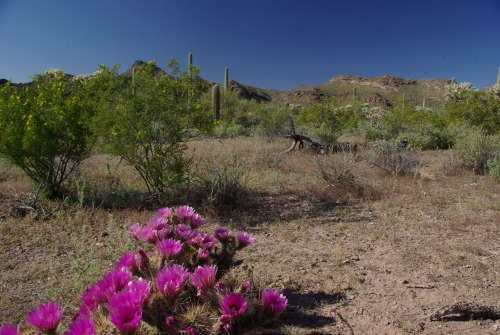 Hedgehog Cactus blossoms in the Ajo Mountains. If they don't carpet the scene, they make up for it with brilliant large flowers.