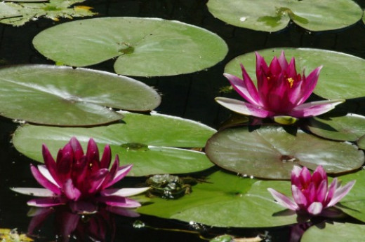Don't overlook water lilies and other flowers in private ponds and gardens. Miller Canyon, Huachuca Mountains. Bonus: frog just right of leftmost lily