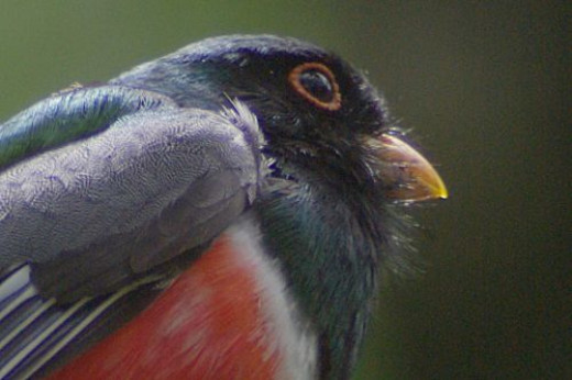 Elegant Trogons draw birders from all over. They live high in the mountains and are tropical birds.