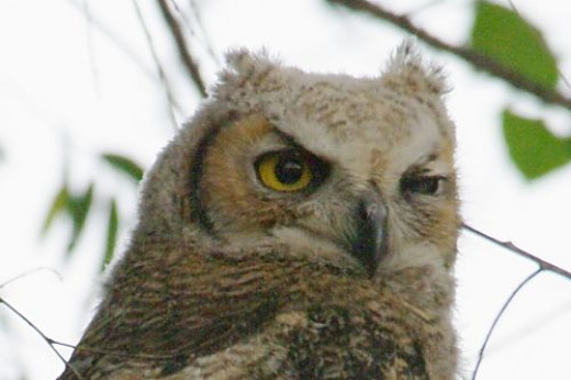 Bird behavior is fun to watch. This Horned Owl is giving you a quizzical look.