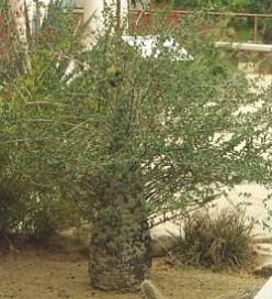 Boojum Tree