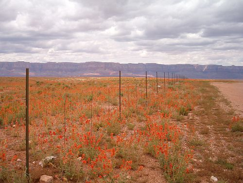 Desert Mallow as far as you can see.
