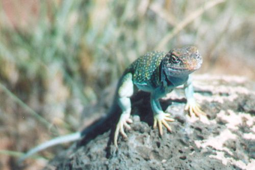 This Collared Lizard was sitting on a rock, and we saw him just as we were leaving. He didn't mind us at all, and I took almost an entire roll of film of him before I got tired. He was a real blessing to my girlfriend, who was going through some stuf