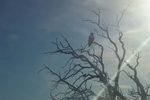Photo play with the crow in the dead tree.