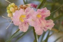 Arizona Desert Flowers