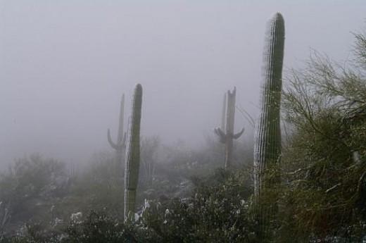 Saguaros in fog.