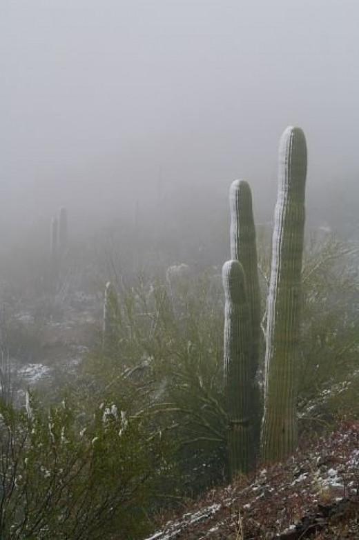Closeup of Saguaros in fog.