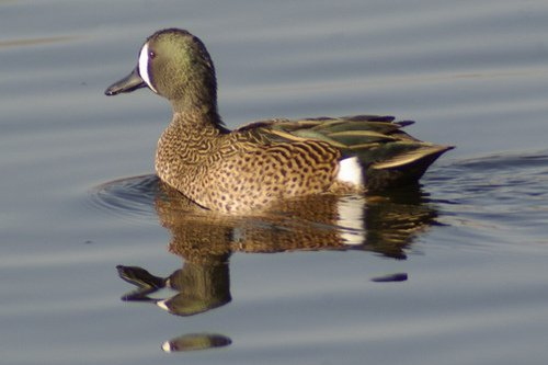 Blue-winged Teal, Anas discors