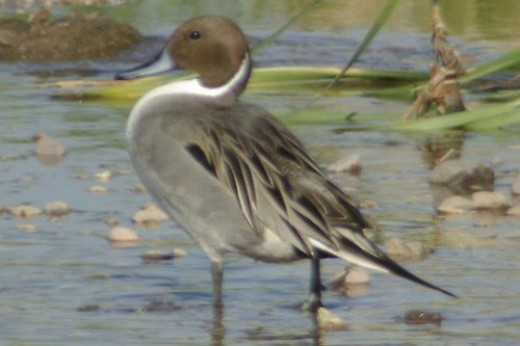 Northern Pintail, Anas acuta
