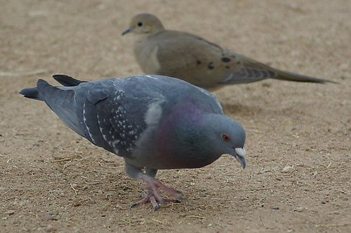 Front: Rock Dove, Columba livia. Back: Mourning Dove, Zenaida macroura
