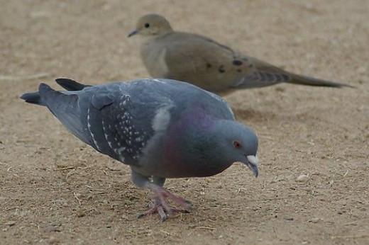 Front: Rock Dove, Columba livia. Back: Mourning Dove, Zenaida macroura