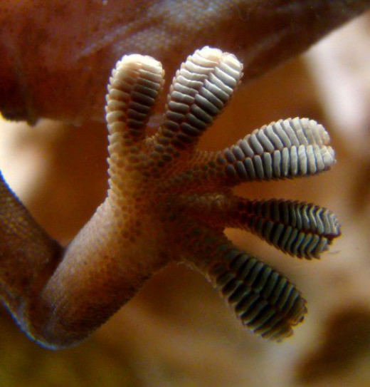 Gecko foot on glass. Notice the structure of the pads.