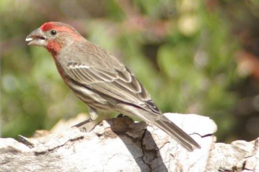House Finch, Haemorhous mexicanus