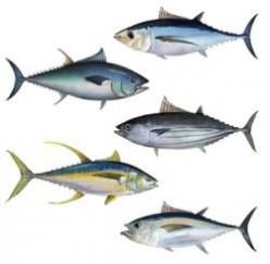 Tuna Fish - Necessity for College