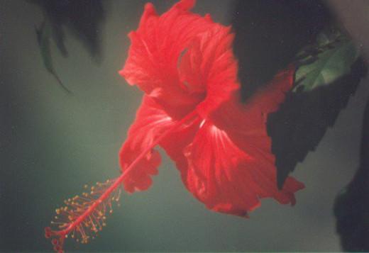 Hibiscus rosa-sinensis.