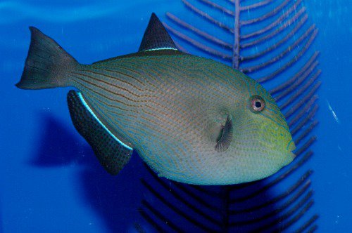 Black durgon. Melichthys niger. Humuhumu `Ele`ele.
